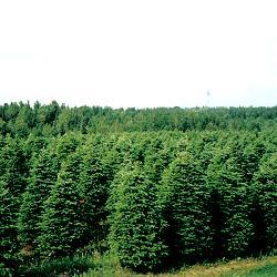 Field of Crete quality Christmas trees