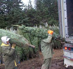 Loading Christmas trees for export