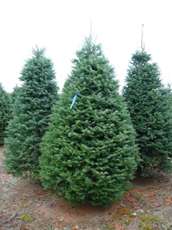 Christmas Trees Wholesale Balsam And Fraser Fir Crete
