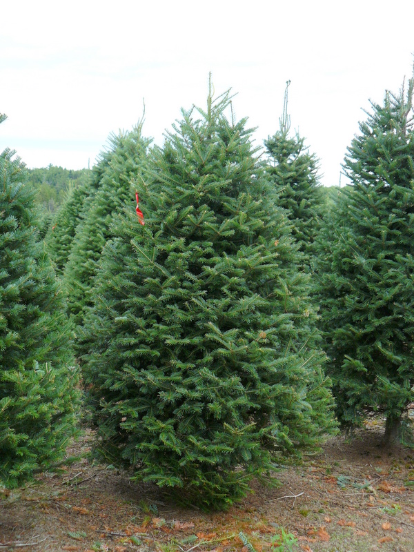 96145555ac1a7 Click for Image. Number 1 Grade Balsam Christmas Trees
